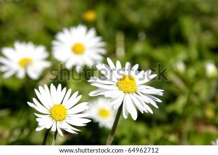 Macro closeup of pretty daisies - stock photo