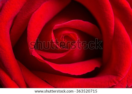 macro closeup view of red rose, shallow depth of field