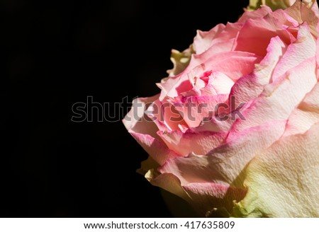 Macro contrast close up of a pink and white rose bloom over black background - stock photo