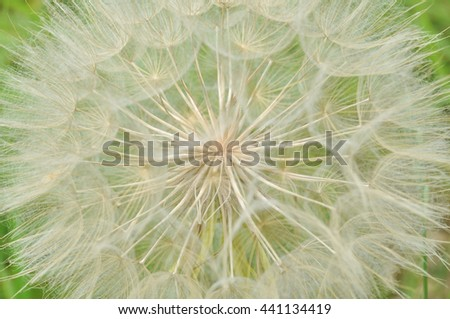 macro dandelion - stock photo