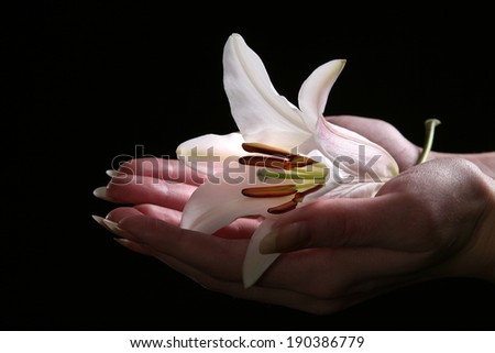 macro delicate white lily flower in female hands on black background studio