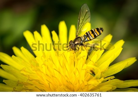 Macro detail of a drone fly over yellow flower (Eristalis tenax)