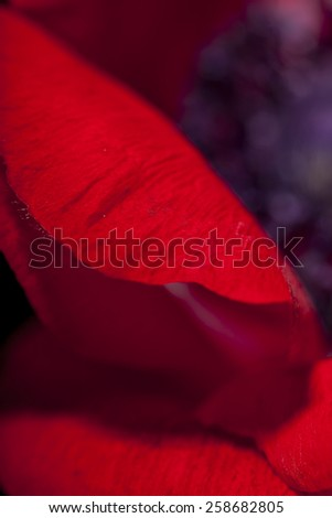 Macro detail of a vivid red garden anemone, Anemone coronaria, cultivated for its showy flowers showing the center of the flower with the pistils and achenes - stock photo