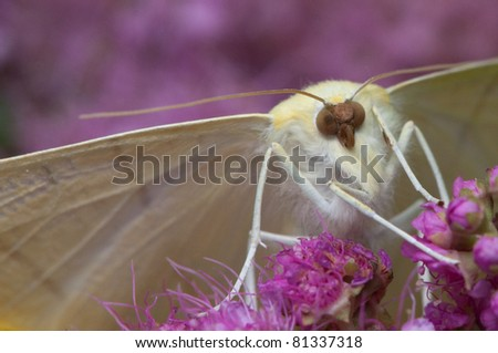macro detail of brimstone butterfly - stock photo
