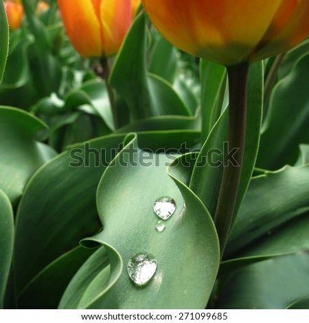 Macro detail of tulips in garden with water drops on leaf for freshness springtime - stock photo