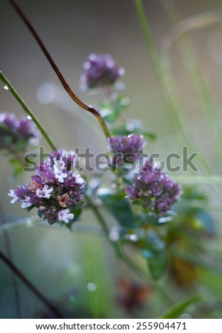macro dew on a flower oregano - stock photo