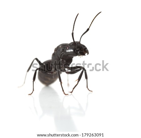 Macro en face of ant over white background, low point of view  - stock photo