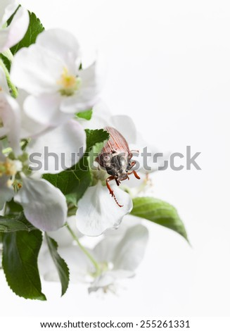 Macro en face of maybug beetle (Cotinis nitida) in blooming apple twig 