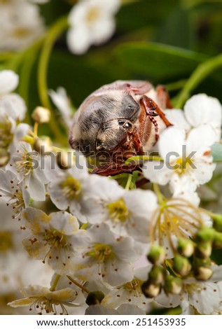 Macro en face of maybug beetle (Cotinis nitida) in blooming whitethorn