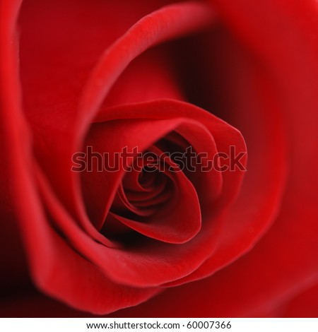 Macro flower beautiful rose for a background image - stock photo