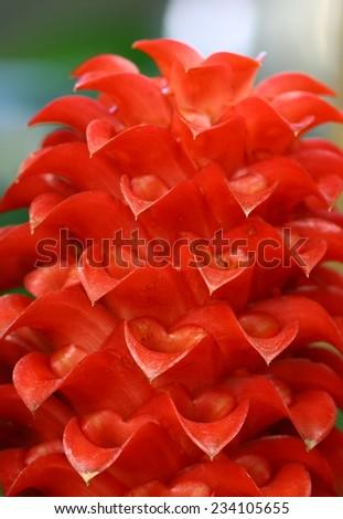 macro flower in garden, ginger - stock photo