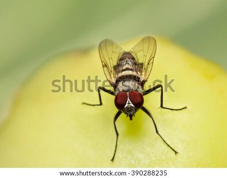 macro, fly feeding on a rotting tomato. - stock photo