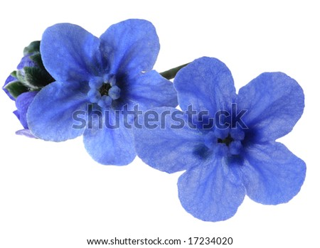 Macro forget-me-not flower isolated on white