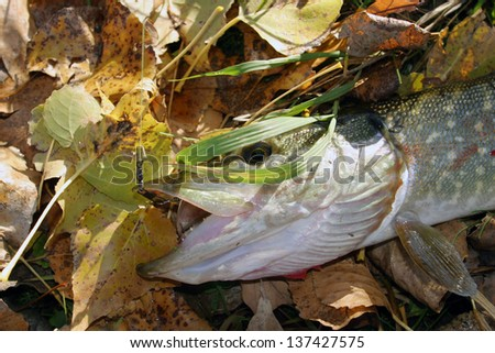 Macro freshly caught pike amid fallen leaves