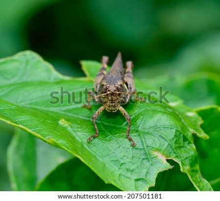 macro front view  of dark brown and yellow grasshopper standing on green leaf ; selective focus at eye with  blur dark background - stock photo