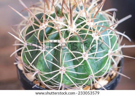 Macro green cactus plant with sharp thorn for nature background - stock photo