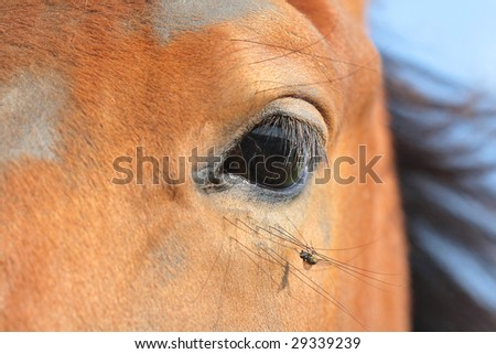 Macro horse eye with fly hanging in lashes - stock photo