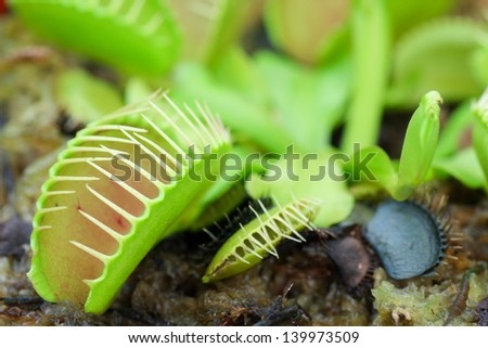 Macro image of a carnivorous droseaceae plant - stock photo