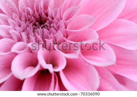 Macro image of a dahlia flower - stock photo