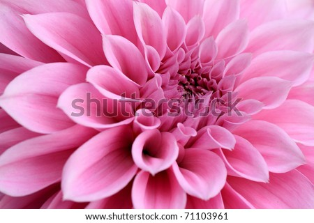 Macro image of a dahlia flower - stock photo