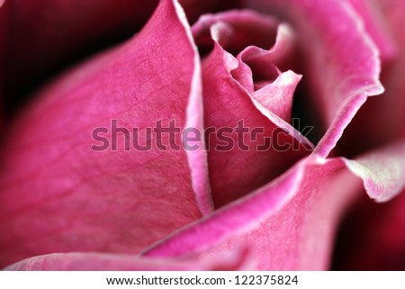 Macro image of a dark red rose