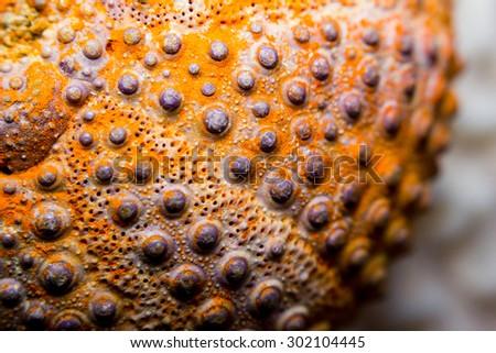 Macro image of a fossilized sea urchin  - stock photo