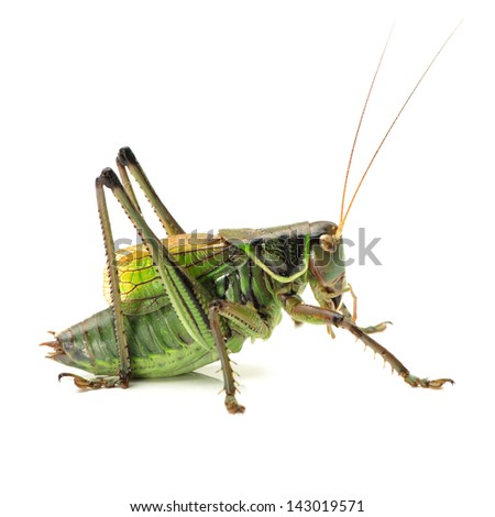 Macro image of a grasshopper isolated on white background - stock photo