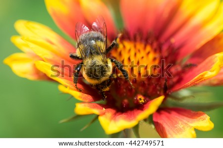 Macro Image of a Honey Bee on a Flower