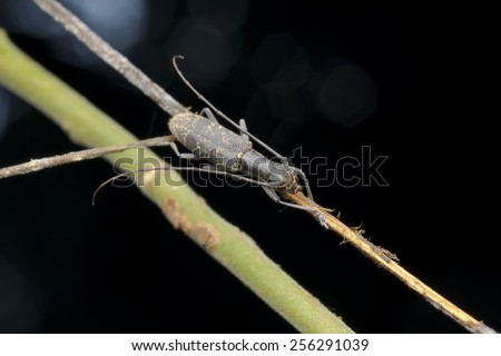 Macro image of a long horn beetle on a branch