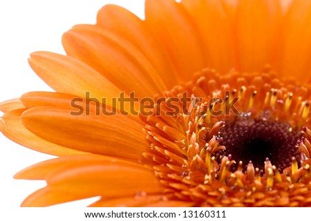 macro image of a part of an orange gerbera - stock photo