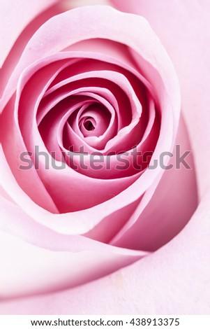 Macro image of a pink rose - stock photo