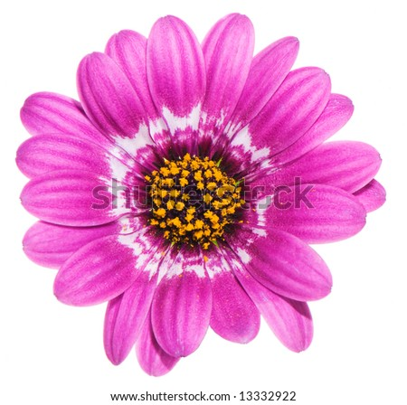 macro image of a purple gerbera flower with yellow hart. Isolated on white. - stock photo