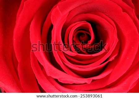 Macro image of a red rose - stock photo