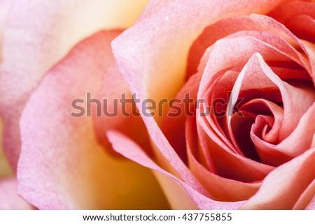 Macro image of a reddish yellow rose - stock photo