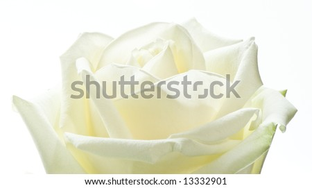 macro image of a romantic white rose. Isolated on white.