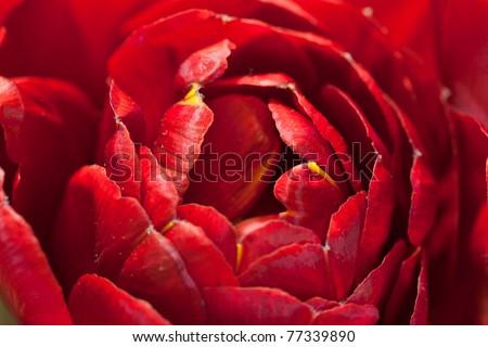 Macro image of beautiful red tulip - stock photo