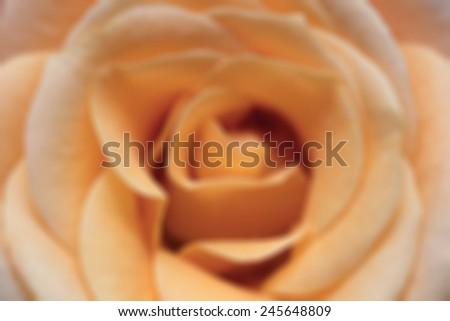 macro image of blue yellow rose - stock photo