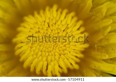 Macro image of dandelion flower in full bloom - stock photo