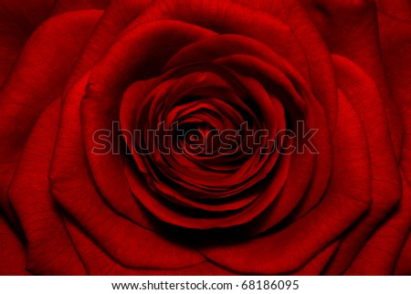 Macro image of dark red rose.Extreme close-up with shallow dof. - stock photo
