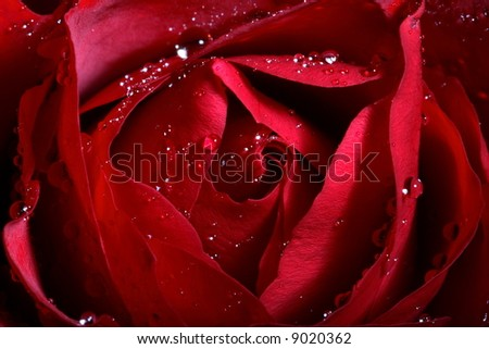 Macro image of dark red rose with water droplets. Extreme close-up with shallow dof. - stock photo