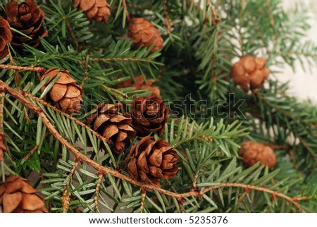 Macro image of evergreen branch with tiny pine cones