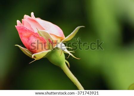 macro image of natural pink rose growing bud - stock photo