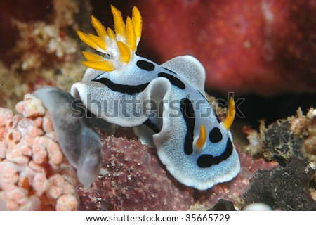 Macro Image of Nudibranch, Diana's Chromodoris - stock photo