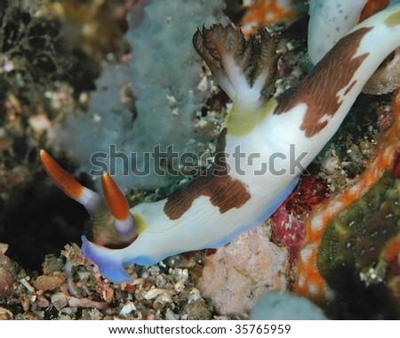 Macro Image of Nudibranch, Nembrotha Rutilans, Photographed In Lembeh, Indonesia - stock photo