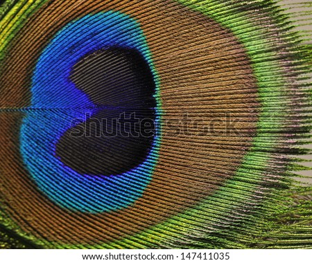 macro image of peacock feather/Peacock Feather - stock photo
