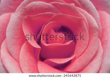 macro image of pink rose - stock photo