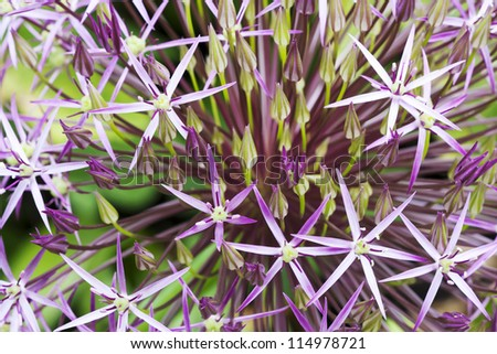 Macro image of purple Allium flower, selective focus useful for background or illustrating concepts - stock photo