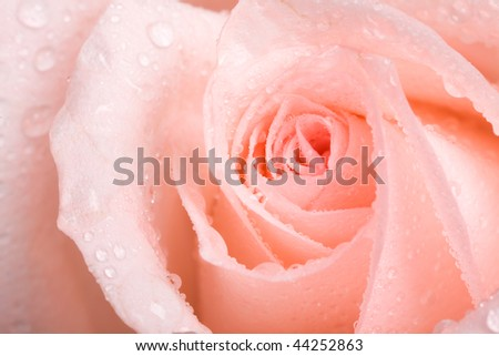 Macro image of red rose with water droplets.