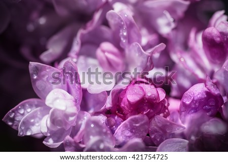 Macro image of spring soft violet  lilac flowers with water drops, natural seasonal floral background. Can be used as holiday card with copy space. - stock photo