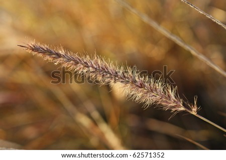 macro image of wheat with golden background - stock photo